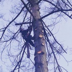 Delimbing and Cutting Down a Tree in Langley, B.C.